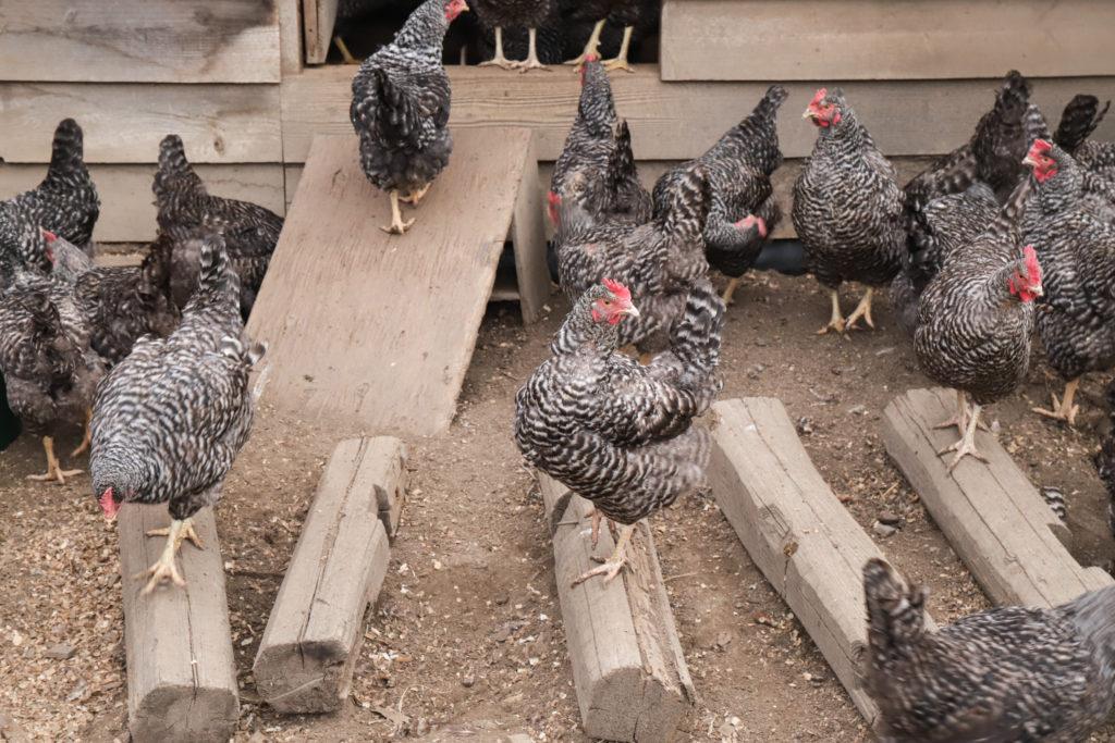 放牧鶏舎で日光浴中の鶏。鶏種は「岡崎おうはん」